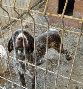 Собака Курцхар 1.5 года сука
