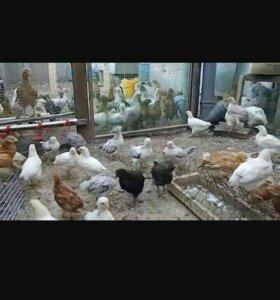 Продам домашних цыплят