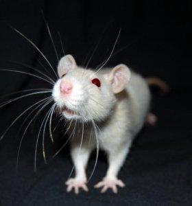 Серый крысёнок с красными глазами
