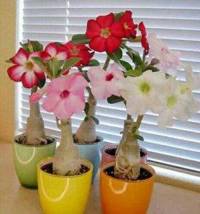 Адениум(роза пустыни) ростки