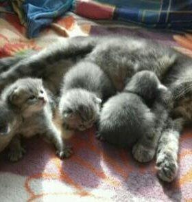Шатланские котята