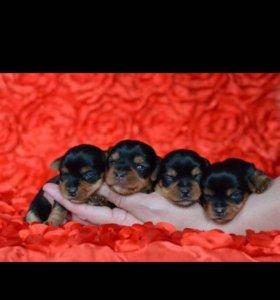 Йорк щенки