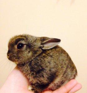Отдаю декоративного карликовость кролика
