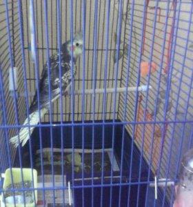 Попугай розелла с клеткой