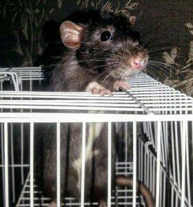 Добрый крыс в добрые ручки.
