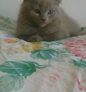 Котёнок смесь шотландской породы с британским.