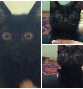 Полупородистый котенок