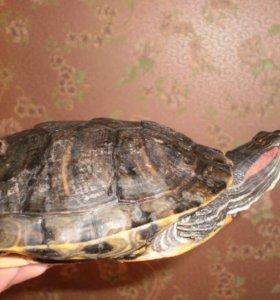 Большие черепахи с аквариумом