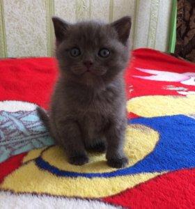 Продаются котята чистокровные