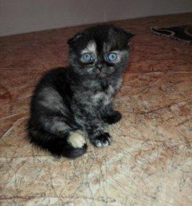 Шотландский черепаховый котенок
