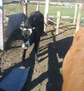 Телочки годовички от удойных коров