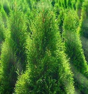 Сочно зеленые туи с доставкой