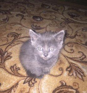 Котята от британской кошки даром
