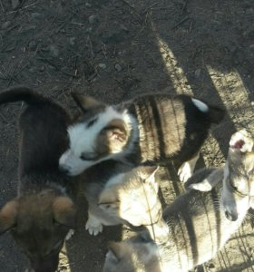 Щенки западно -сибирской лайки