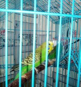 Продам попугая волнистого