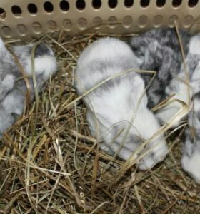 Крольчата-барашки из питомника