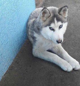 Продается собака ХАСКИ