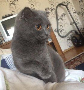 Продаётся кошка шотландская вислоухая