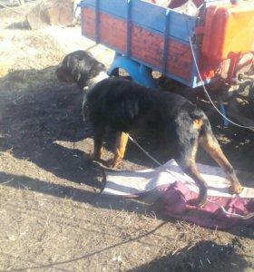 Продаю собаку ,парода ротвейлер номер 89507868099