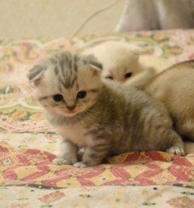 Шотландскиевеслоухин котята