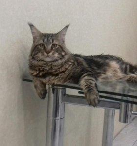 Вязка кот мейн кун