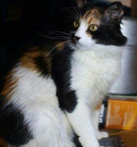 Трехцветная кошка на счастье в дом
