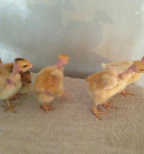 Новый вывод - Недельные - Цыплята