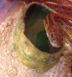 Змея северо американский полос не ядовитая.