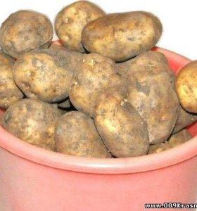 Картофель ( сорокодневка и белая)