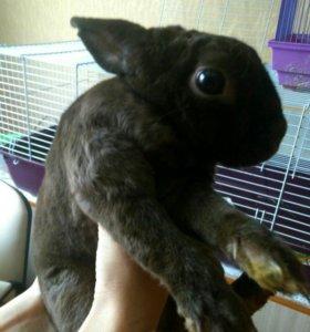 Кролик шоколадный рекс с клеткой