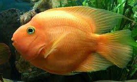 Рыбка Попугай крупная XXL