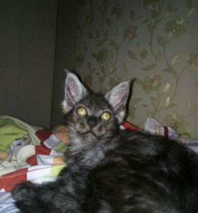 Кот мейн кун.рассрочка,доставка