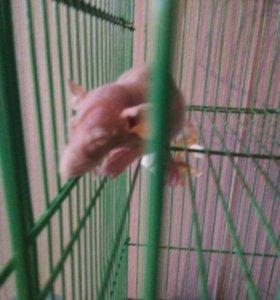 Маленькие крысята сфинкс