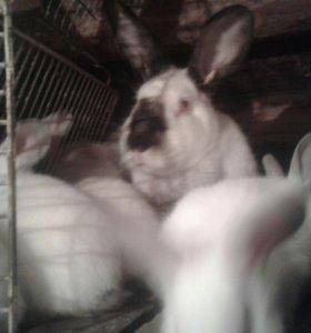 Кролики: мясо и живьем