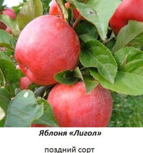 Саженцы яблони, вишни, груши и других