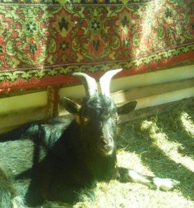 Обменяю взрослого козла на дойную козу
