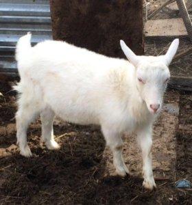 Зааненские кози