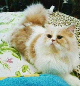 Экзотический кот Вязка!