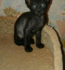 Ориентальные котята эбони, сиам и  пятно