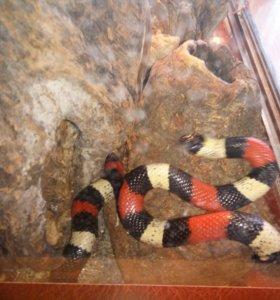 Змея Молочная Кампбелла.