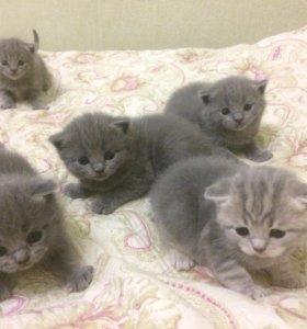 Британско-шотландские котята