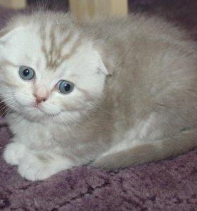Шотландские котята недорого
