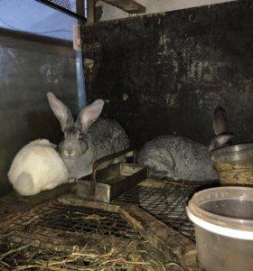 Кролики нзк и нзб
