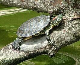 Черепаха большая, девочка