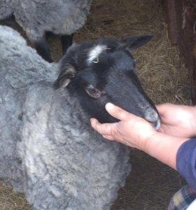 Романовские овцы 2 в одни руки