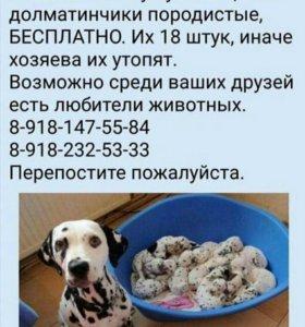 Долматинцы щенки даром