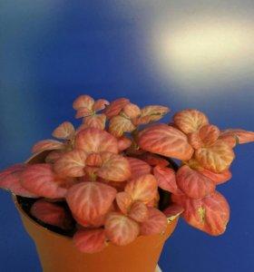 Фиттония Розовая