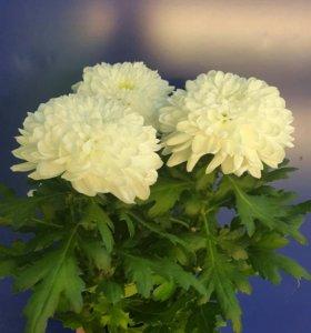Хризантема белая