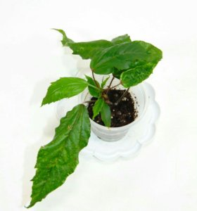 Гибискус Купера, пестролистный. цветок красный.