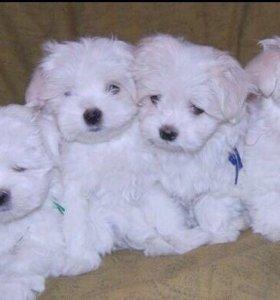 Мальтезе щенки